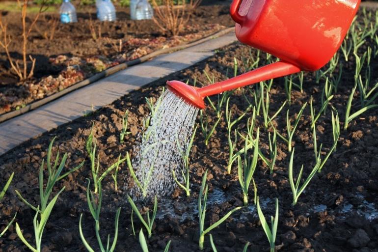 Planter l'ail à l'automne dans le Donbass: le moment et ...