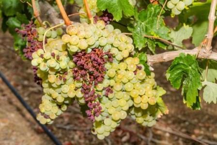 grape diseases photo than to treat