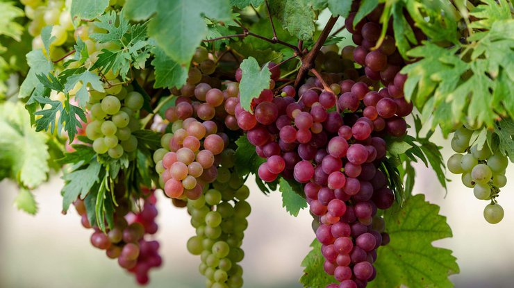 The best elite grape varieties for central Russia with photos and descriptions