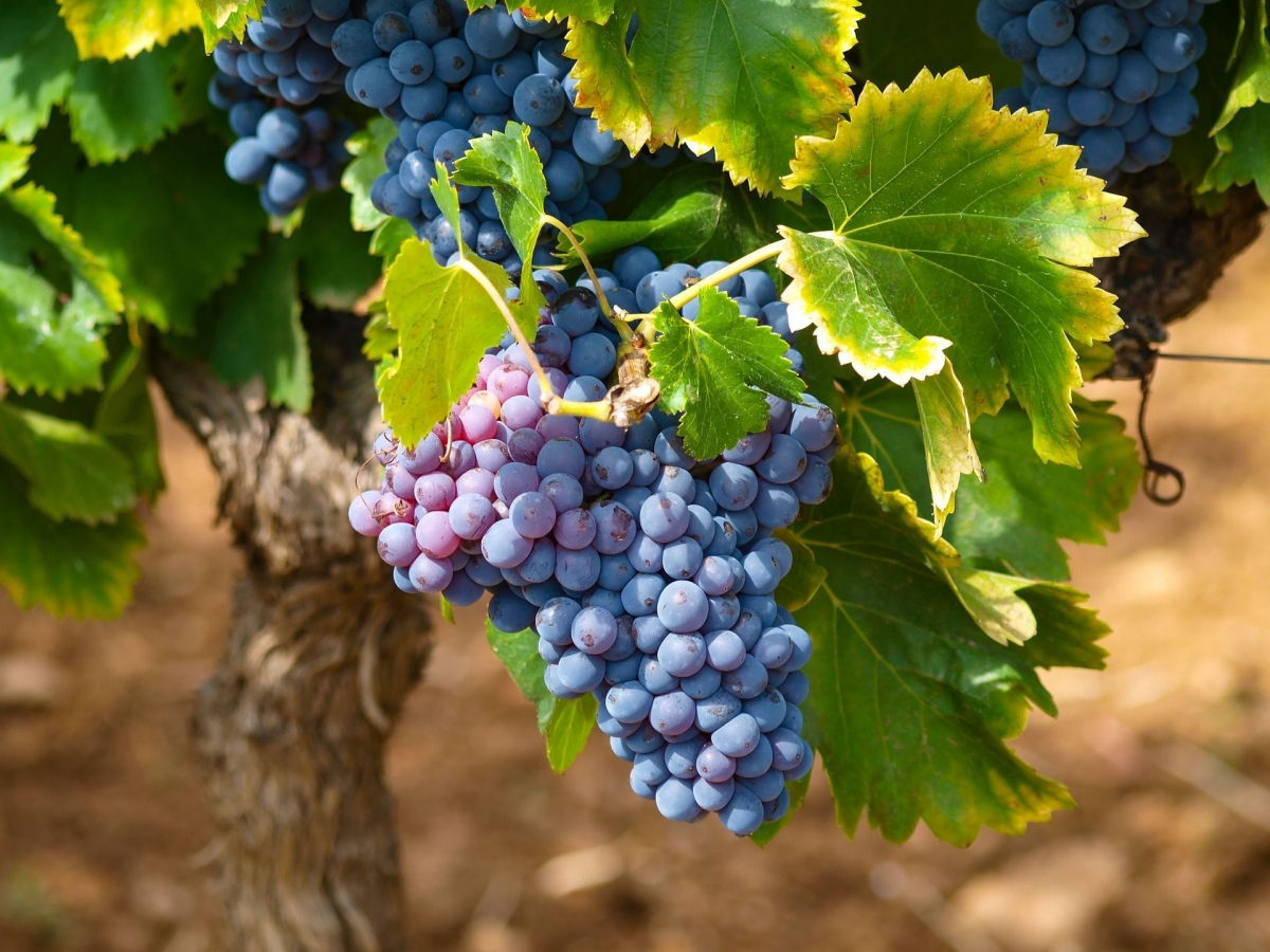 When can I transplant grapes