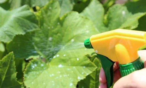 spraying cucumbers with a solution of milk and iodine