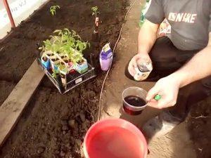 planter une tomate dans une serre en polycarbonate