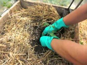 planter correctement la tomate dans la serre