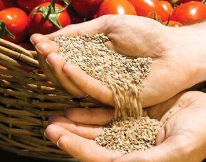 quelles variétés de tomates devraient être plantées dans une serre en polycarbonate