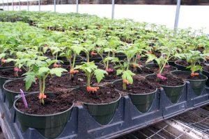 Отглеждане и грижи за домати