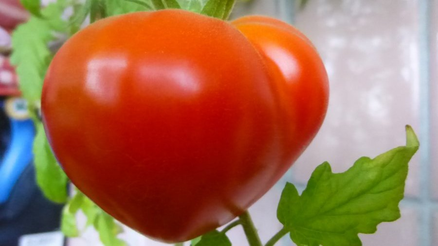 tomato budenovka reviews about it for those who grew it