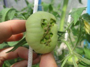 tomate2