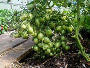 Характеристика и описание на сорта на доматена хио-хио-сана