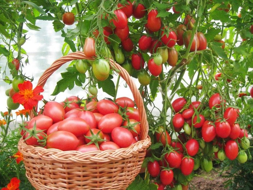 Delicious Tomato Chio Chio San Reviews And Opinions Of Those Who Planted Photo