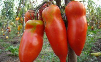 червена домати mustang характеристика и описание на сорта