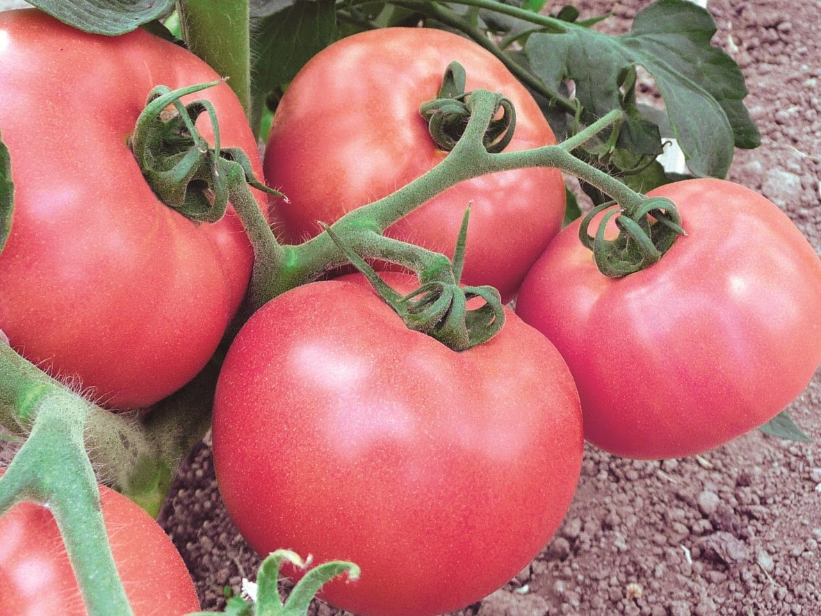 Tomato pink miracle characteristic and description of the variety