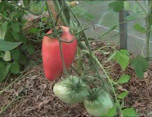 Характеристика и описание на вида на доматената телешка кожа