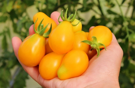 tomato honey drop characteristic and description of the variety
