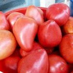 tomate aigle bec commentaires photos rendement