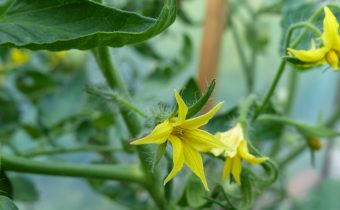 than to feed the tomatoes during flowering and fruit set