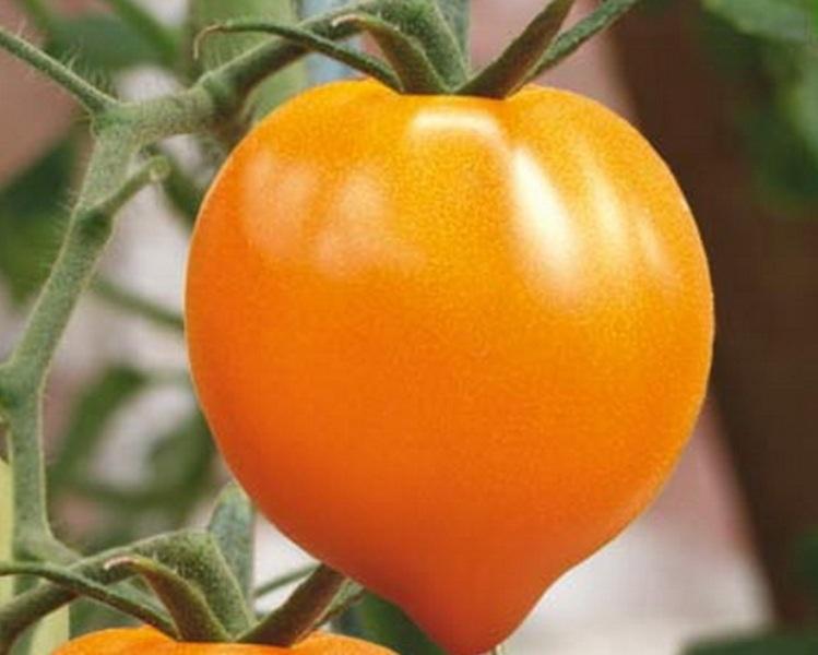домати златно сърце разнообразие описание снимки ревюта