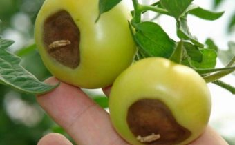 Vertex rot on tomatoes: treatment of folk remedies