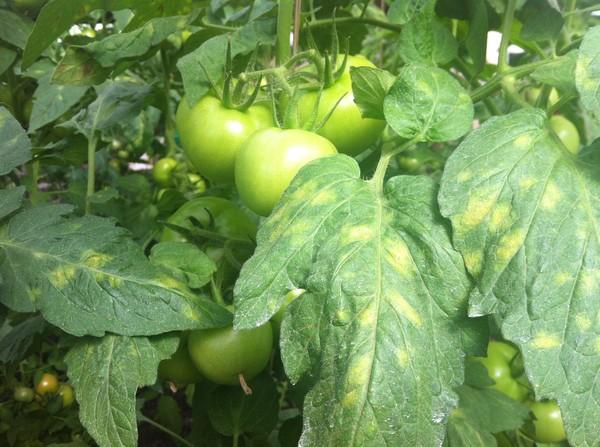 Cladosporiosis of tomato control methods and drugs