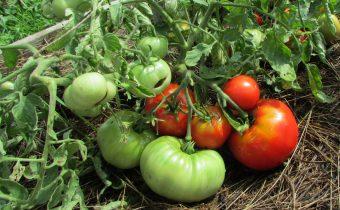 Mongolian Dwarf Tomato