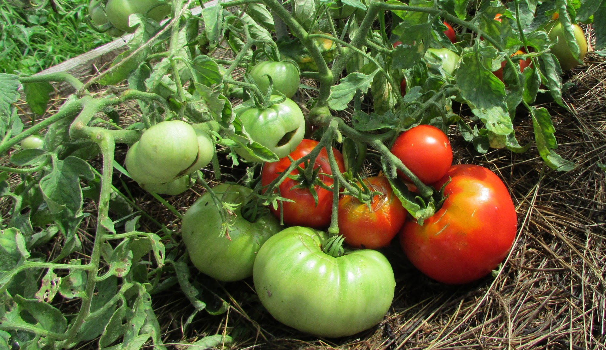 Монголски домат
