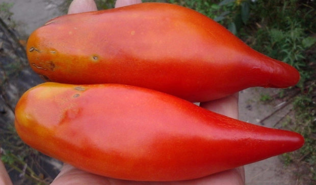 характеристики на доматите и описание на сорта