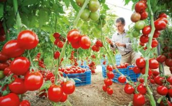 preparing greenhouses in the fall for tomatoes