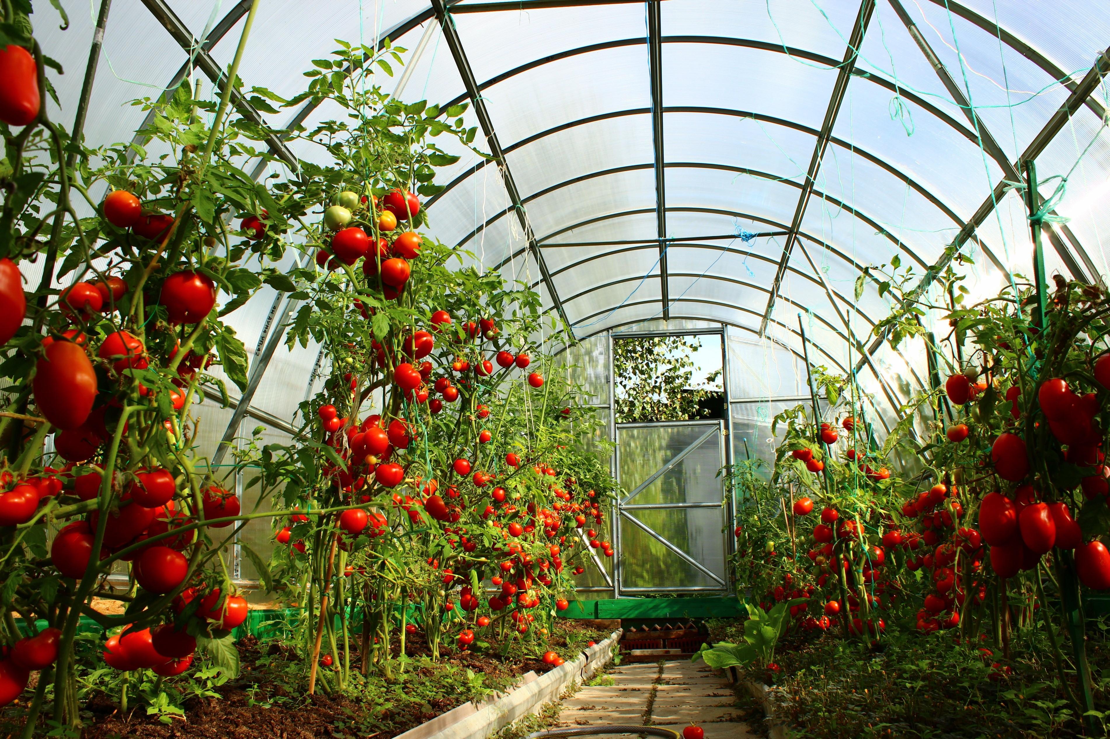 Planter des tomates en serre nécessite une approche compétente
