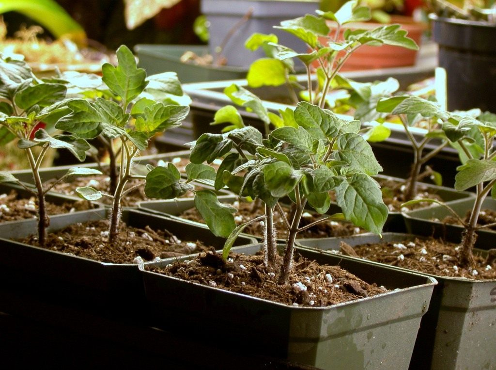 Terms of planting tomato seedlings in 2018 in central Russia