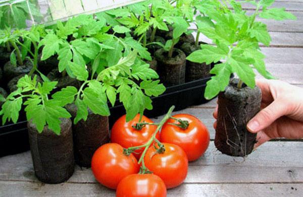 Façons de cultiver des plants de tomates à la maison pour les serres et les terrains ouverts