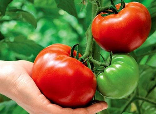 Growing tomatoes according to the method of IM Maslova. Advantages and disadvantages of the method