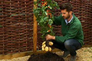 Tomate - Variétés Croisées