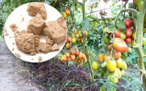 Yeast Feed For Tomatoes
