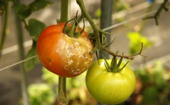 Phytophthora on tomatoes