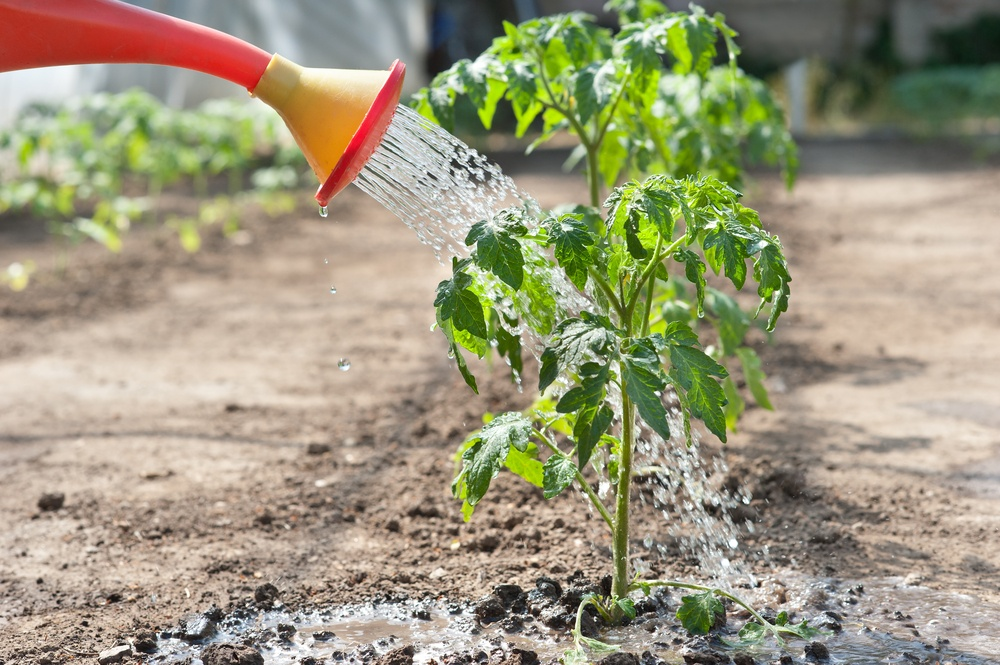 Водните домати