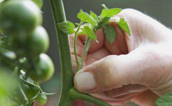 Masking tomatoes