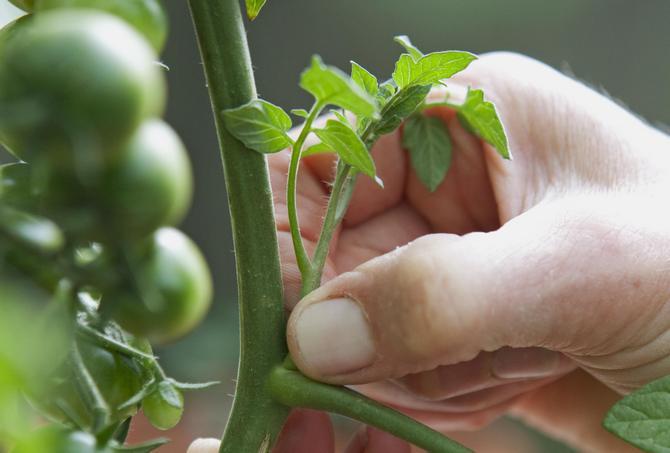 Маскиране на домати