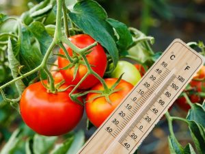 What temperature can withstand tomatoes