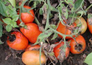 домати алтернария