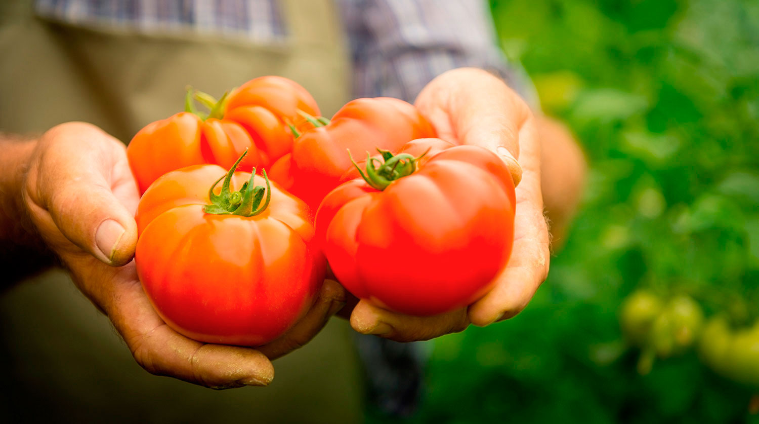 When to pick tomatoes in the greenhouse?