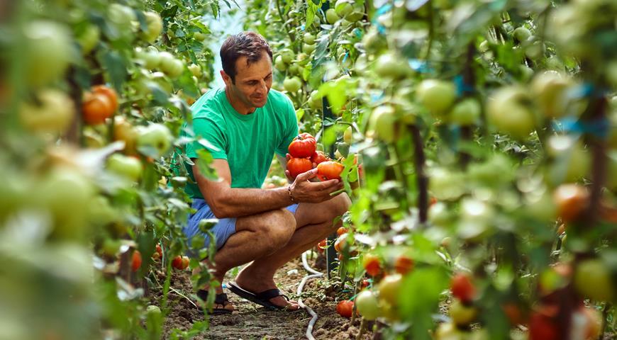 Tomates dans une serre en polycarbonate