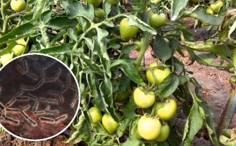 Tomato bacteriosis (Bacterial wilt)