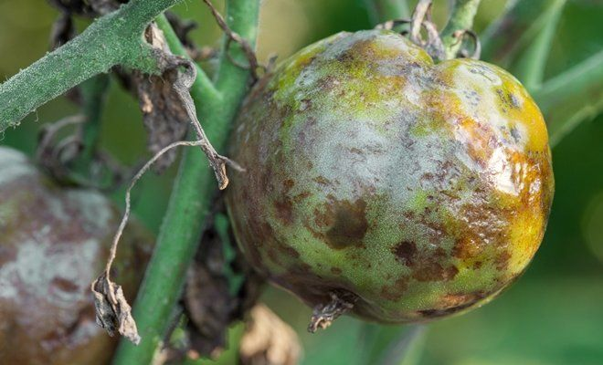 phytophthora sur les tomates