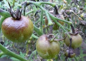 tomates atteintes de mildiou