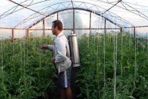 Transformation de tomates à partir de phytophthora