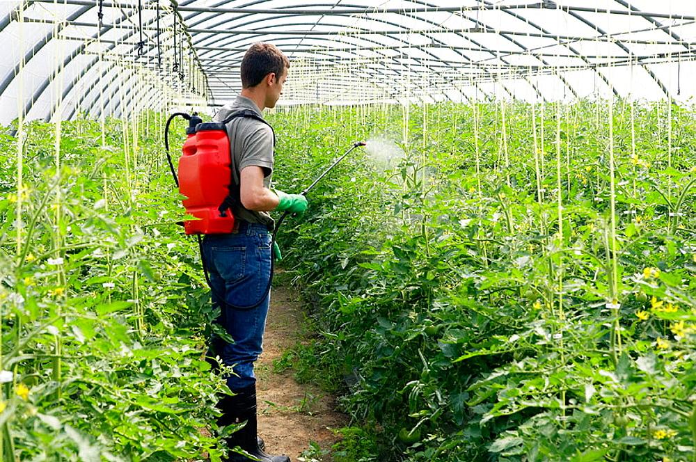 човек обработва доматите