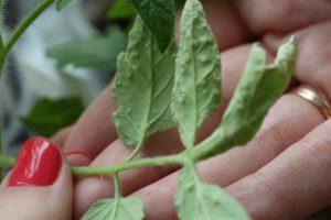 feuilles de tomate atteintes