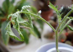 œdème de jeunes plants de tomates