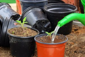 Watering seedlings after picking