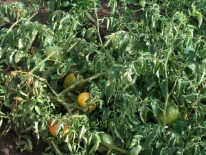 Tomatoes affected by aphids