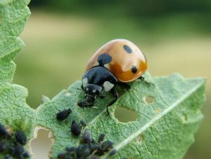 Ladybug from aphid